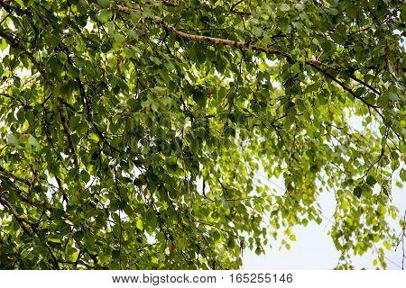 Tall Slender White Birch Trunks With Fresh Leaves