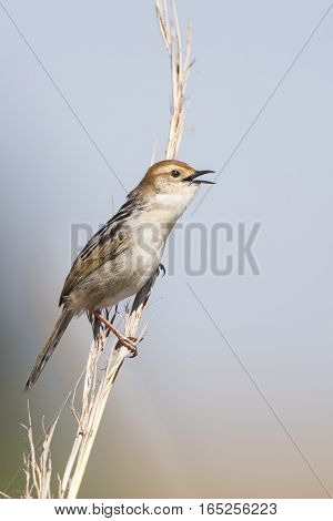 Small brown cisticola sitting and singing on a grass stem
