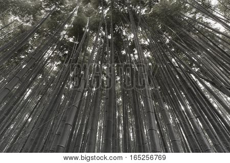 Black and White Bamboo forest natural landscape background
