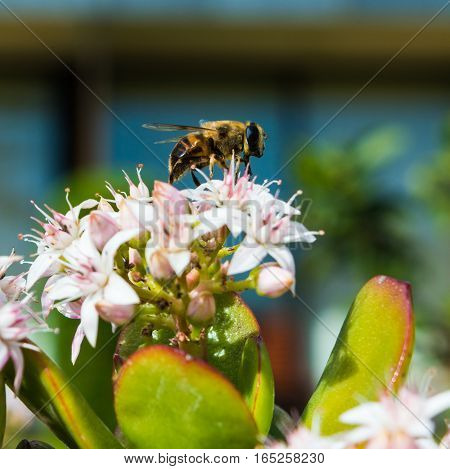 Honeybee Collecting Pollen From a Jade Plant in a hotel garden in Madeira