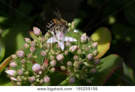 A Honeybee on a Jade Plant in a hotel garden in Madeira