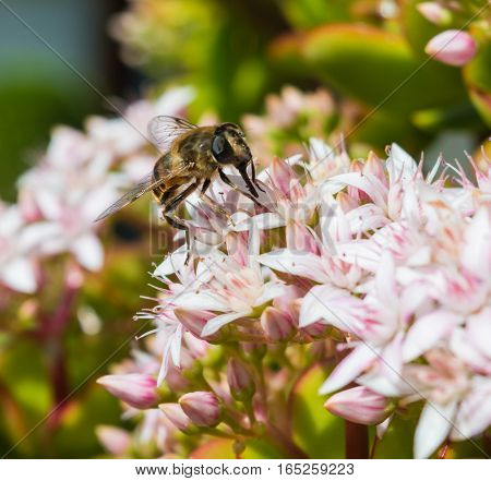 Honeybee Sitting on a Jade Plant in a hotel garden in Madeira