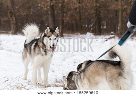 Two Siberian huskies on a walk in the forest. One of the dogs is on a leash.