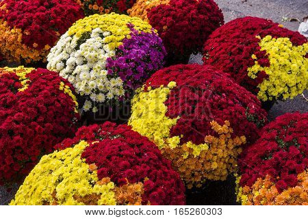 Chrysanthemums In A Market, Montreal, Quebec, Canada