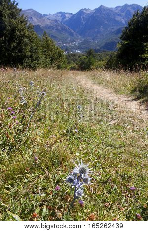 Oxford Blue Thistle In The Middle Of The Field In Pyrenees, Spain