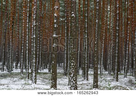 The photo shows a high pine forest. Are only slender tree trunks, do not see their crowns. It's winter, the surface layer of snow covered the ground. The trunks of the trees on the left side is covered with a layer of slanting snow with the wind.