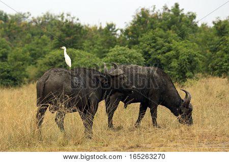 African Buffalos (Syncerus caffer aka Cape Buffalo). Queen Elisabeth National Park Uganda