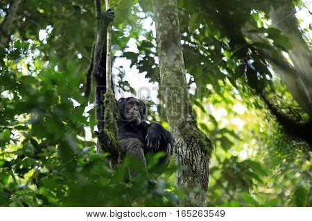 Common Chimpanzee (Pan troglodytes) in a Tree. Kibale Forest Uganda