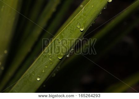 Picture of water drops falling down a green plant leaf