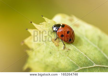 macro ladybug on the tip of a leaf on yellow background