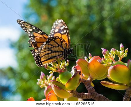 Monach Butterfly Sitting on a Jade Plant in a hotel garden in Madeira