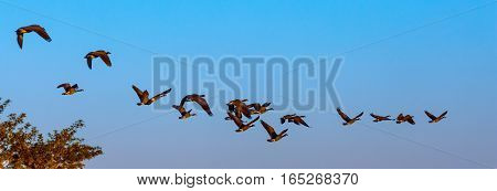 Panoramic image of geese (branta canadensis) flying in a blue sky.