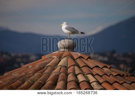 Herring Gull (larus Argentatus) On The Roof Of Old Building Of Nice, France