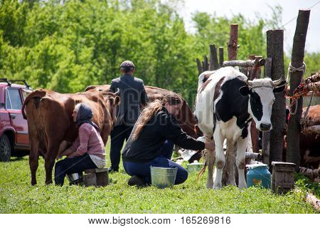 LUGANSK, UKRAINE - JUNE 19, 2016: Two women milk the cows in the village.