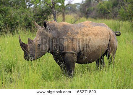 White Rhino (Ceratotherium simum). Rhino Treking in Ziwa Rhino Sanctuary Uganda