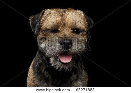 Close-up portrait of border terrier dog with closed eye spying isolated on black background, front view