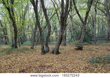 Tree trunks and leafy floor in the forest in fall.