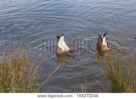 Two Canadian geese, bottoms up.  Taken at Hainault Country Park and shows two geese underwater with their bottoms up.