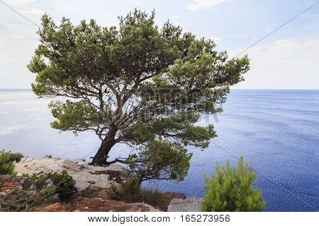 This is Mediterranean pine over the steep bank of the Croatian Adriatic.