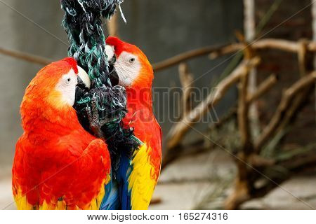 Parrots Clinging On A Rope