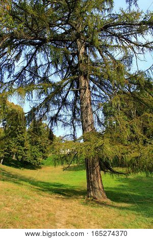 big Sequoia sempervirens near the path in Kachanivka park