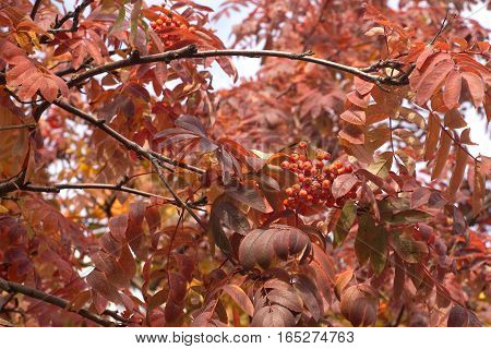 Red rowan leaves on trees with berries in autumn season closeup