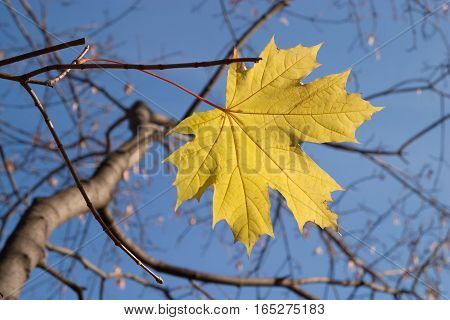Last yellow maple leaf on tree branch in autumn day