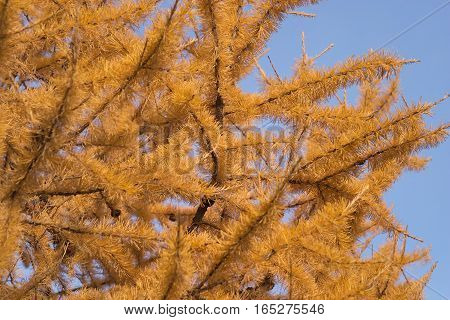 Larch tree branches with many yellow needles over clear blue sky