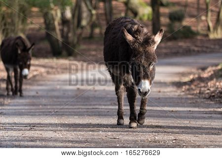 Donkeys on road in New Forest National Park. Pair of free roaming animals walking along through woodland in southern England UK