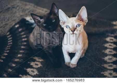 Two cute Devon Rex kittens sitting on a soft wool Icelandic knitted sweater. Two cats black and white.