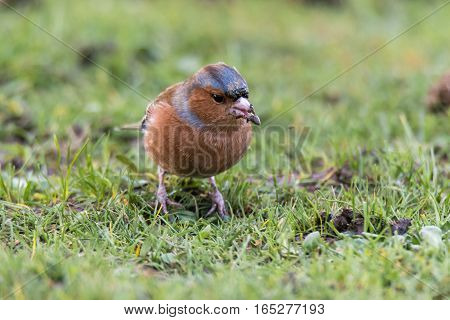 Chaffinch (Fringilla coelebs) head on with seed in beak. Brightly coloured male bird in the finch family (Fringillidae) feeding on the ground looking for seeds