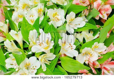 freesia flowers Alstroemeria. White flowers and green sheet