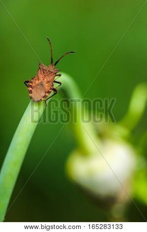 insect climbs on garlic at summer in garden