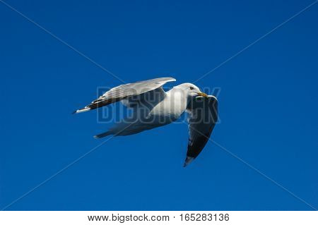 wild seagull fling o the blue sky
