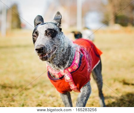 Adorable Blue Heeler puppy wearing harness and red sweater pet portrait.