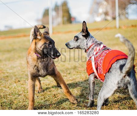 Two dogs a young Belgian Malinois and a Blue Heeler wearing sweater are introduced at a dog park. Puppy socialization.