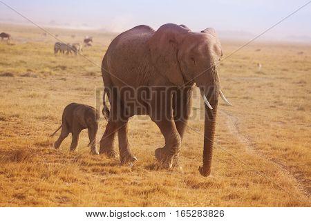 A small elephant calf walking behind his mother in Kenyan savannah