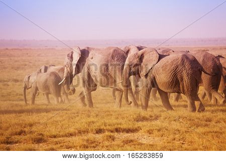 Big family of African elephants walking to the watering place in sunset lights in Maasai Mara National Reserve, Kenya