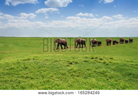 A herd of adult and baby elephants walking one after another at the grasslands of Africa