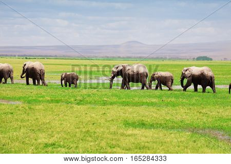 Family of African elephants move in a line at swamplands of Amboseli National Park, Kenya