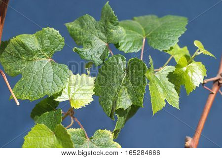 Vine branch with green grape leaves closeup
