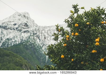 Orange trees with ripe oranges in the mountain garden in Dim Cay district of Alanya, mountain range at background, Antalya province, Mediterranean Turkey