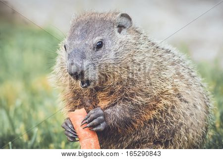 Young Woodchuck (Marmota Monax) with carrot in hands