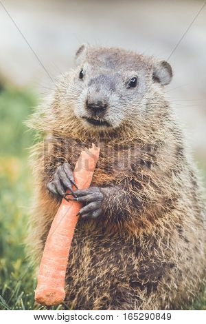 Young Groundhog (Marmota Marmox) holding large carrot, portrait