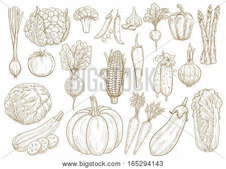 Vegetables sketch icons set of onion leek, cauliflower and broccoli, chinese napa cabbage, zucchini squash and green pea, tomato, cucumber and pumpkin, beet, asparagus and eggplant, garlic, corn and pepper. Vector isolated vegetarian farmer veggies