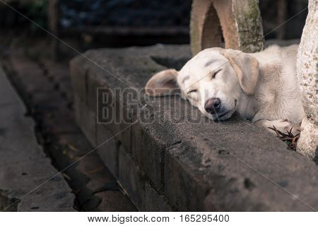 Lonely homeless white dog sleeping on the path
