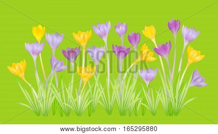 Crocuses - small spring-flowering plant of the iris family. Vector illustration.
