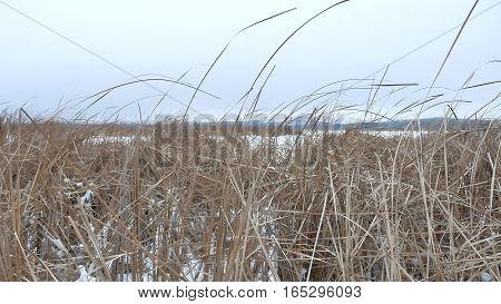dry grass marsh winter nature reed beautiful landscape