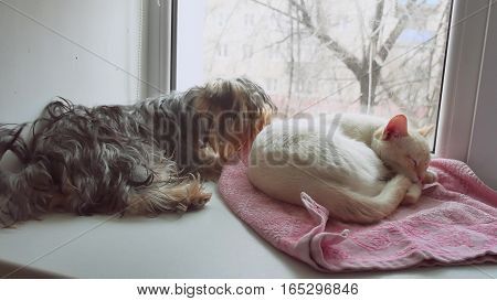 cat and a funny dog Yorkshire Terrier sitting on pet sill of window