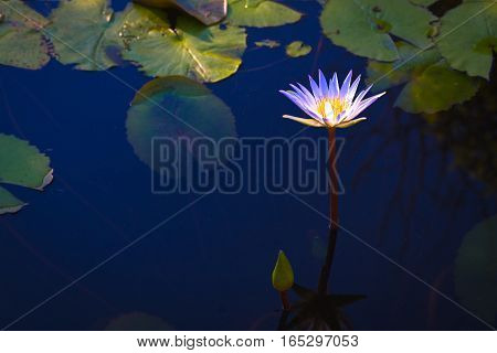 hite lotus flower with leaves in pool on dark  light and vintage tone with copy space.